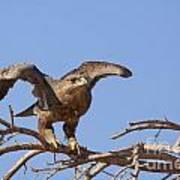 Steppe Eagle Aquila Nipalensis 1 Poster