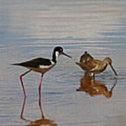 Stilt And Dowitcher  Poster