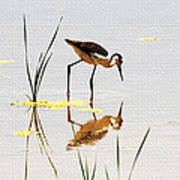 Stilt Chick Looking For Food Poster