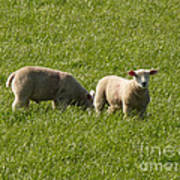 Stirling Sheep Poster