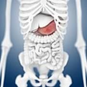 Stomach Anatomy, Artwork Poster