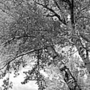 Storm Over The Cottonwood Trees - Black And White Poster