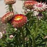 Straw Flowers Xerochrysum Bracteatum Poster