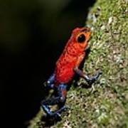 Strawberry Poison Frog Poster