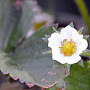 Strawberrys Flower Poster