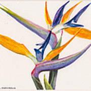 Strelitzia Flowers Poster