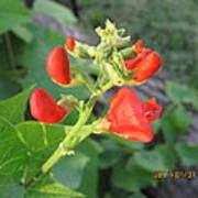 String Bean Flowers Poster