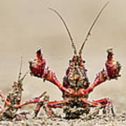 Striped Crayfish  Poster