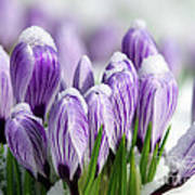 Striped Purple Crocuses In The Snow Poster