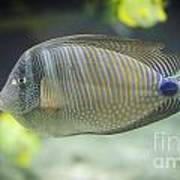 Striped Tropical Fish Desjardini Tang Poster