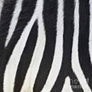 Stripes On Zebra Poster