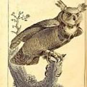 Strix Virginiana Owl Poster