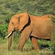 Strolling Elephant Poster