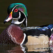 Strutting His Stuff - Wood Duck Poster