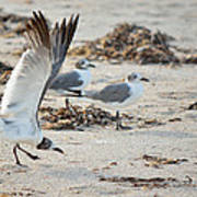 Strutting Seagull On The Beach Poster