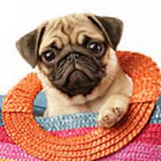 Stuck Pug Poster by Greg Cuddiford