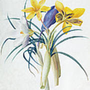 Study Of Four Species Of Crocus Poster