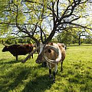 Stunning Texas Longhorns Poster