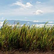 Sugar Cane Field - Maui Poster