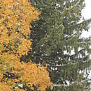 Sugar Maple And Evergreen Poster