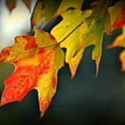 Sugar Maple Fall Colors Poster