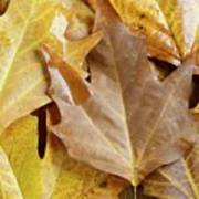 Sugar Maple Leaves Poster