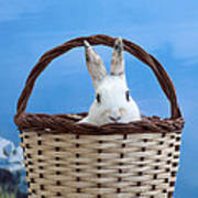 sugar the easter bunny 4 - A curious and cute white rabbit in a hand basket  Poster