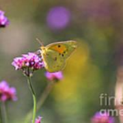Sulphur Butterfly On Verbena Flower Poster