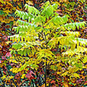 Sumac Leaves In The Fall Poster