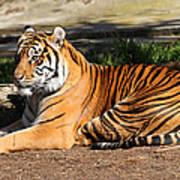 Sumatran Tiger 7d27310 Poster by Wingsdomain Art and Photography