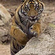 Sumatran Tiger Cub Jumping Onto Rock Poster