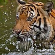 Sumatran Tiger Splashing In The Water Poster