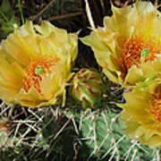 Summer Cactus Blooms Poster