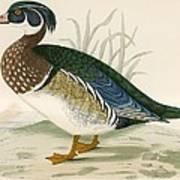 Summer Duck Poster