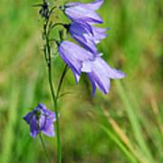 Summer Flowering Harebell Poster