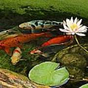 Summer Koi And Lilly Poster