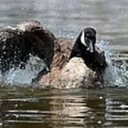 Summer Lovin - Canadian Goose Poster