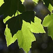 Summer Maple Leaves Poster