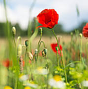 Summer Meadow With Red Poppy Poster