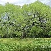 Summer Mesquite Tree Poster