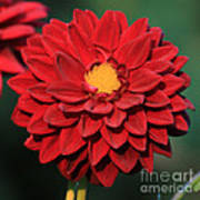 Fiery Red Dahlia Poster
