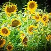 Summer Sunflowers Poster