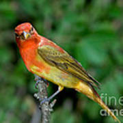 Summer Tanager Changing Color Poster