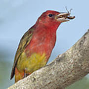 Summer Tanager Eating Wasp Poster