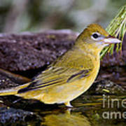 Summer Tanager Female In Water Poster