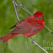 Summer Tanager Male Poster