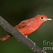Summer Tanager Male Perched-ecuador Poster