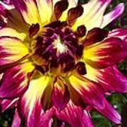 Sun Burst Purple Dahlia Poster