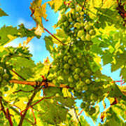Sun Kissed Green Grapes Poster by Eti Reid
