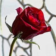Sun Kissed Rose Poster